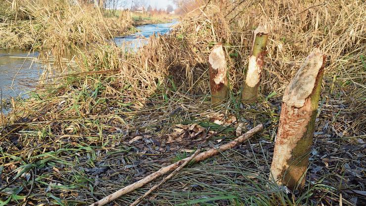 An mindestens zwei Stellen des Bünzufers zwischen Waltenschwil und Wohlen sind Biberspuren zu erkennen.
