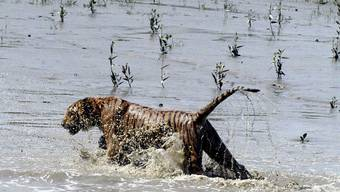 Ein bengalischer Tiger bei der Überquerung eines Flusses in den Sundarbans. Die Zahl der Raubkatzen in Bangladesch ist stark zurückgegangen. (Archiv)