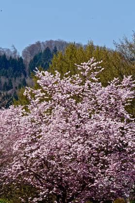 In Spreitenbach blühen die Kirschbäume so schön wie in Japan (Leserbild von Andreas Petrin, Dietikon).