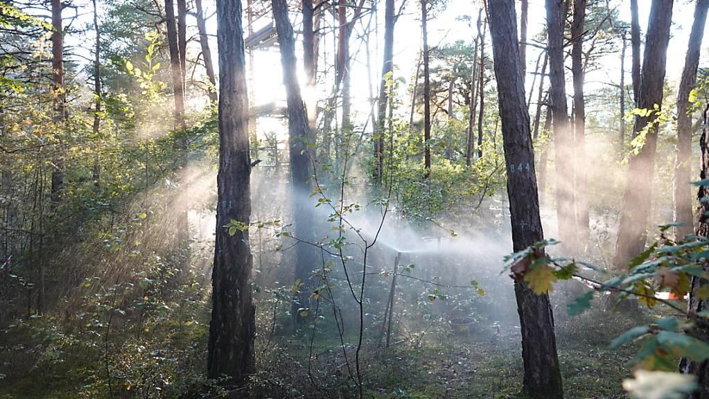 Im Pfynwald im Kanton Wallis konnten WSL-Forschende nachweisen, dass sich mit speziellen Drohnenbildern der Trockenstress von Bäumen erkennen lässt.