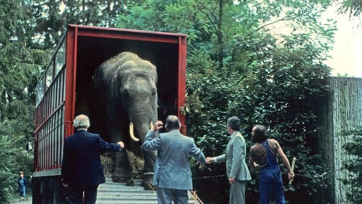 Maxi 1981 bei seiner Ankunft im Zoo Zürich