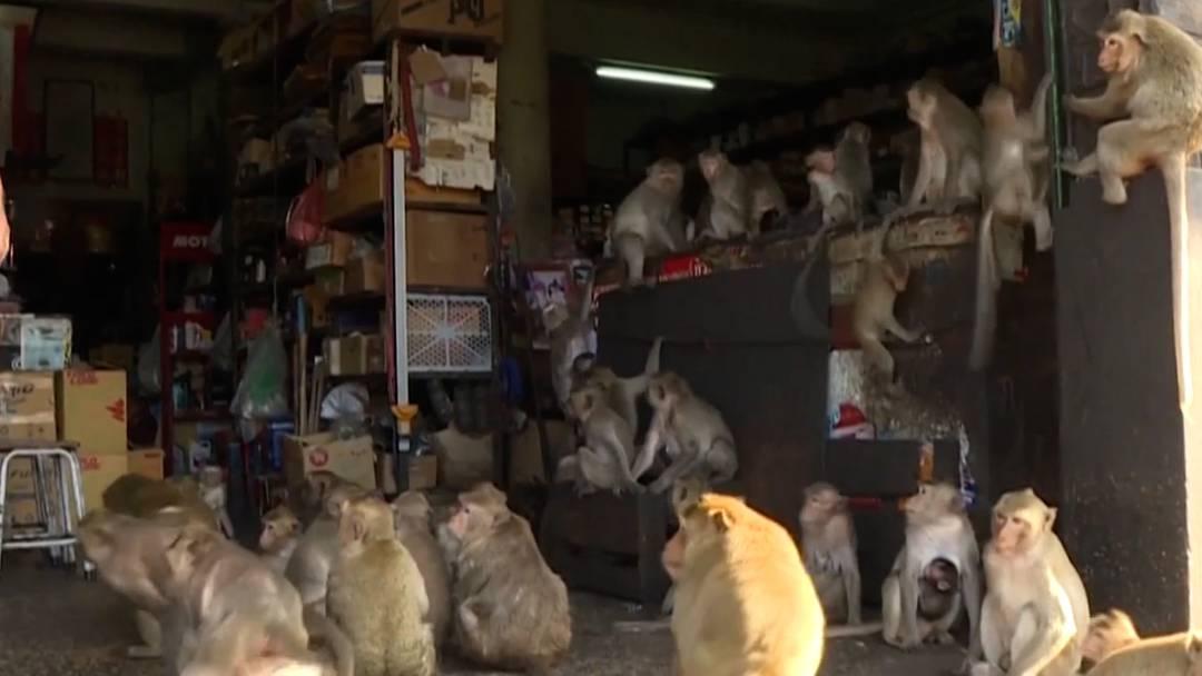 Irgendwie nicht mehr herzig: Affenplage in Thailand
