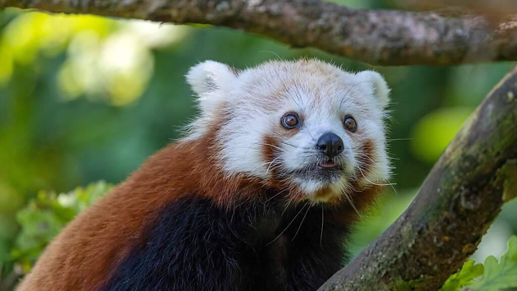 Siddhi – der neue Rote Panda – ist im Zoo Zürich angekommen