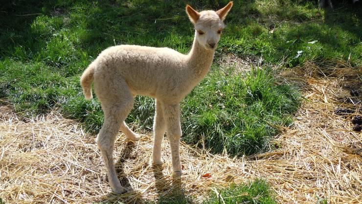 Einfach süss: Das zwei Wochen alte Alpaka hat jetzt endlich einen Namen.