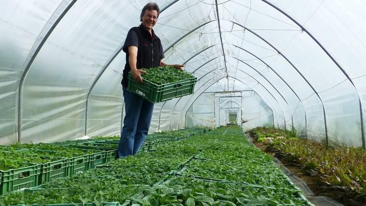 Rebekka Herzog bereitet im Gewächshaus in Hottwil die Tomatensetzlinge für den Wildegger Schlossmarkt vor.LÜ.
