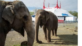 Während des Zeltaufbaus frassen die Elefanten frisches Gras.