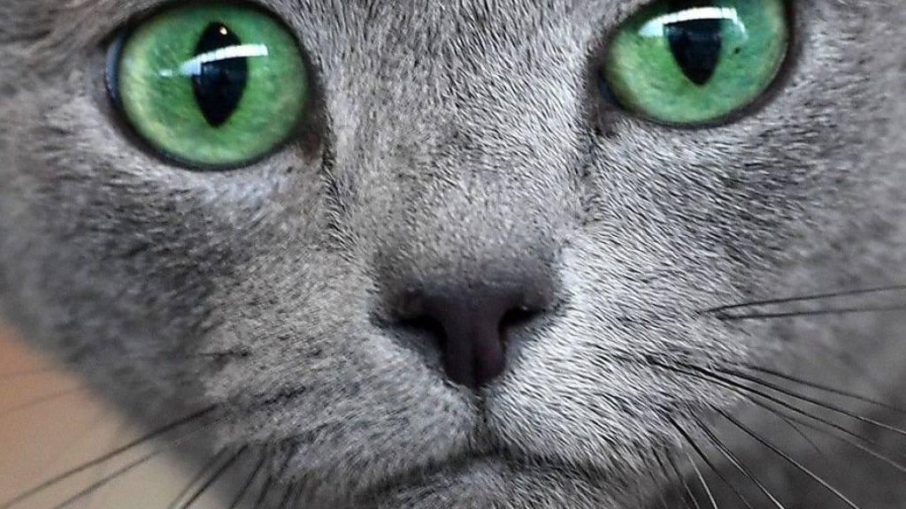 Manche Katzen haben etwas Diabolisches an sich. In Australien beispielsweise tötet im Schnitt jeder städtische Stubentiger im Jahr 110 Kleintiere. Es ist schon vorgekommen, dass ein einziges Büsi eine ganze Tierart ausrottete. (Symbolbild)