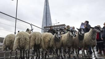 Eine Herde von etwa 30 Schafen ist am Sonntag nach einer uralten Tradition über die London Bridge getrieben worden.