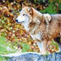 Geroldswil darf dem Mongolischen Wolf im Zoo Zürich keinen Namen geben.