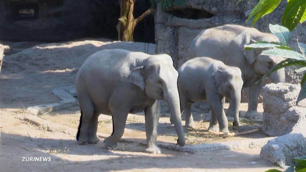 Zoo Zürich: Neugeborenes Elefantenbaby von Herde zu Tode getrampelt