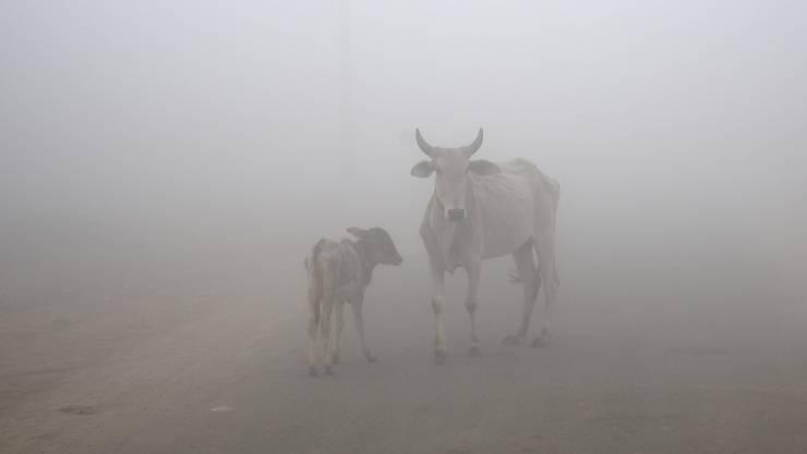 Der Tod zweier Kühe auf Madagaskar führe zu einem diplomatischen Streit zwischen dem Inselstaat und den USA. (Symbolbild)