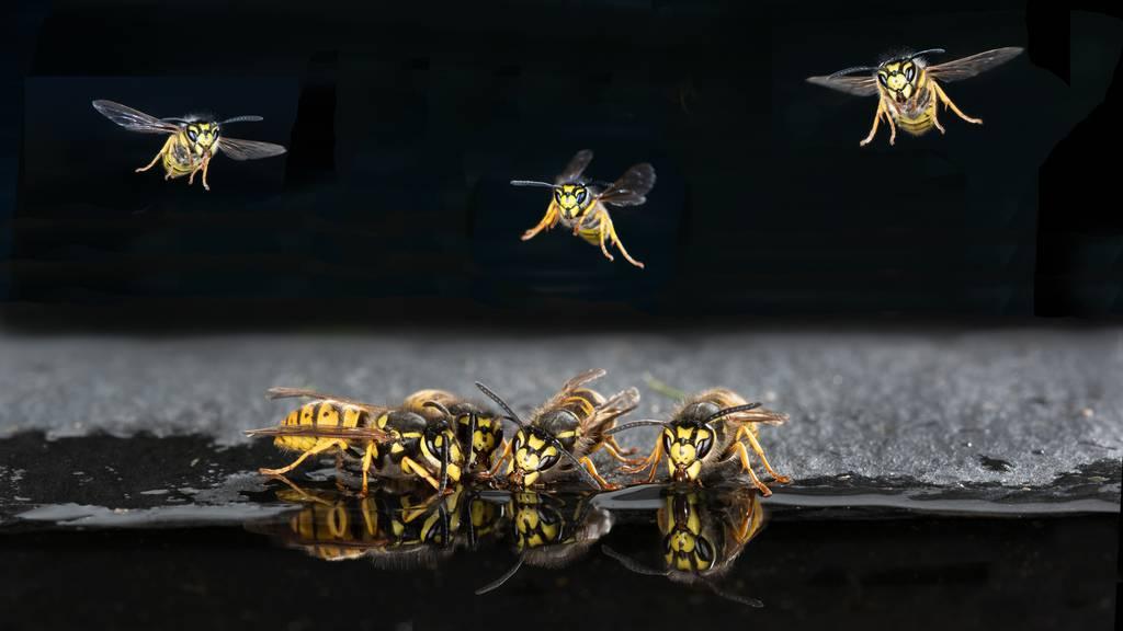 Warum Wespen als aggressiv gelten und wie wir mit ihnen leben lernen