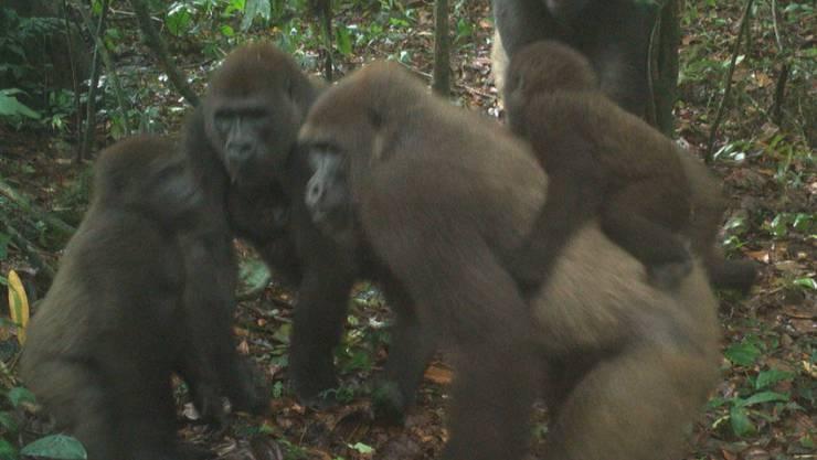 Cross-River-Gorillas mit ihrem Nachwuchs in Nigerias Mbe-Bergen.