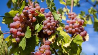 Jetzt ernten Winzer in der ganzen Schweiz ihre süssen Trauben.