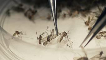Das Zika-Virus wird von Mücken übertragen und ist für Schwangere ein Risiko. (Archiv)