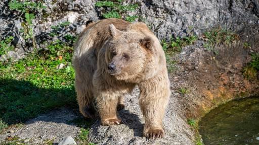 Bärin Maya kehrt in den Tierpark Goldau zurück