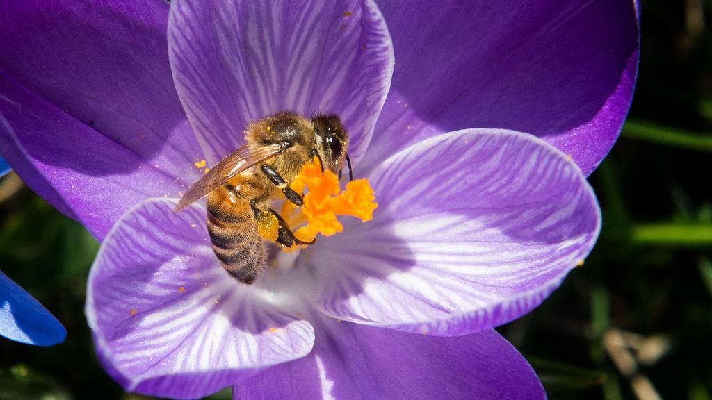 Tag der Biene: Wildbienen-Vielfalt ist in der Stadt hoch
