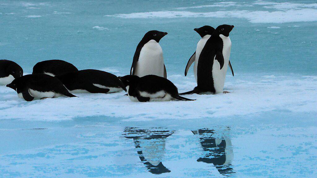 Pinguine müssen gemäss einer neuen Studie künftig mit mehr Regen und Nieselregen klarkommen. (Archivbild)