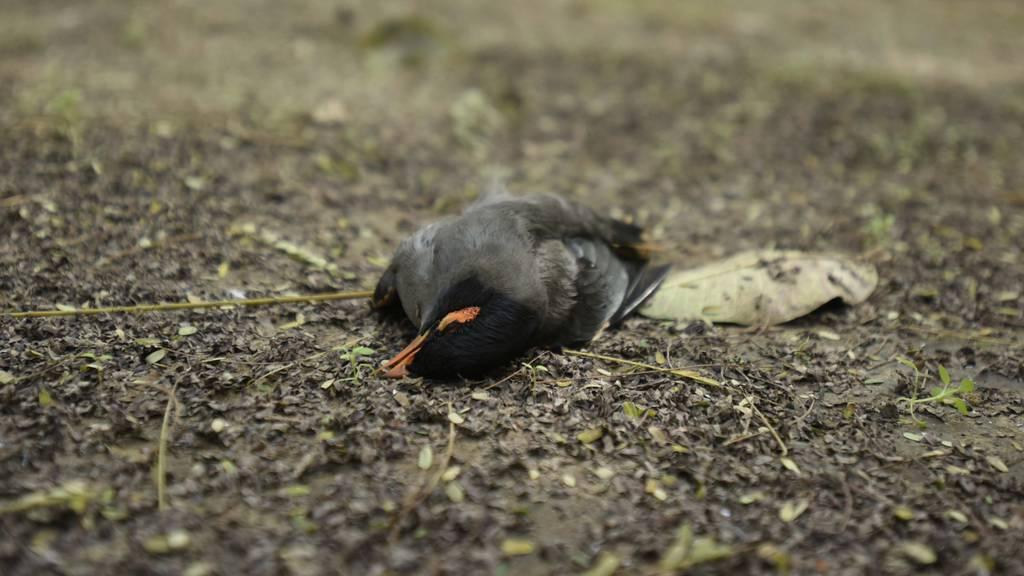 Mehr als 120 tote Vögel nach Unwetter in der Linthebene