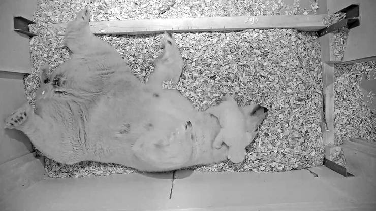 Gut acht Wochen nach der Geburt beginnt der kleine Eisbaer zu krabbeln.