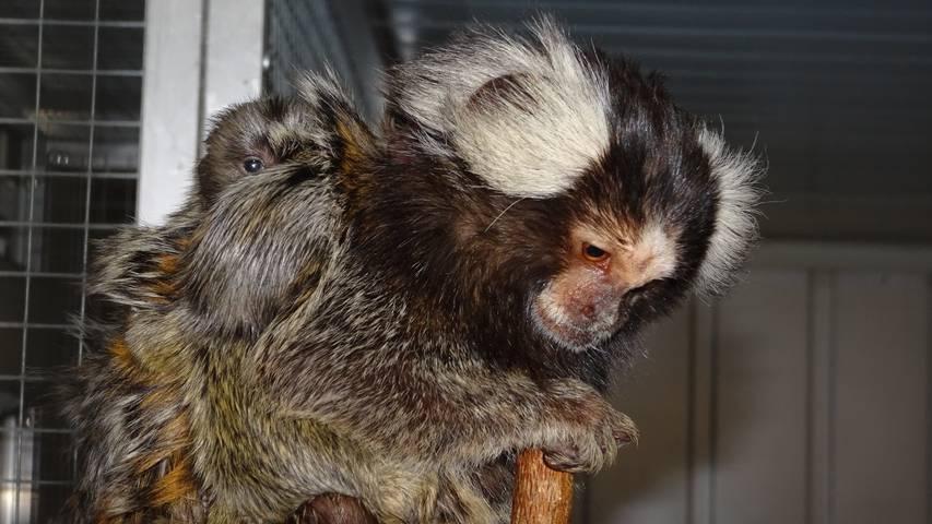 Affennachwuchs im Vogelpark Ambigua