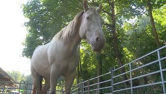 Trotz erdrückender Beweismittel, welche die Polizei auf der Pferdeweide gefunden hat, streitet der 32-jährige Fricktaler Tatverdächtige ab, ein Fohlen missbraucht zu haben.