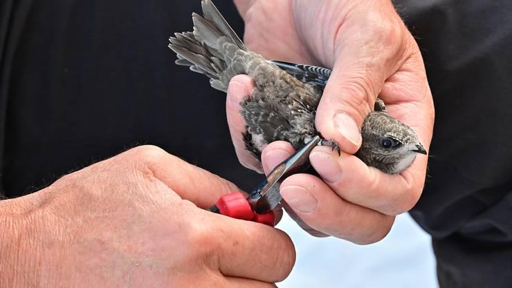 Mauerseglerberingung in Herbetswil: Die Aluminiumringe werden den Vögeln vorsichtig mit einer Zange angebracht.