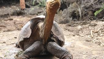 Auf den Galápagos-Inseln wollen Forscher nach Verwandten zweier Riesenschildkröten-Arten suchen, die allgemein als ausgestorben gelten. (Themenbild)