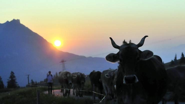 Die ersten Kühe erreichen die Alp Sellamatt im Toggenburg bei Sonnenaufgang, am Samstag, 26. Juni 2010.