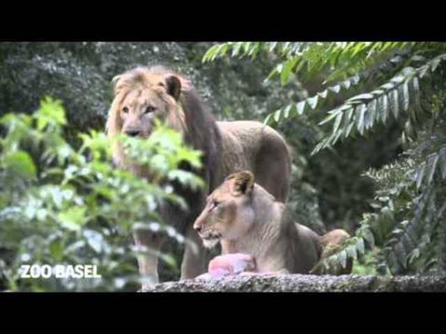 Fächeln, hecheln, faulenzen und Glacé schlecken: So gehen die Zolli-Tiere mit der Hitze um