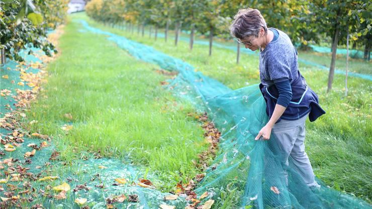 Schärs Haselnusskultur im Herbst – während der Erntezeit. Mutter Monika Schär hebt das Netz so an, dass die Nüsse auf eine Linie zu liegen kommen. Dies damit ein «Rossbolle»-Sauger – wie man ihn aus dem Pferdebedarf kennt – die Nüsse in einem Durchgang aufnehmen kann. Bild: LID