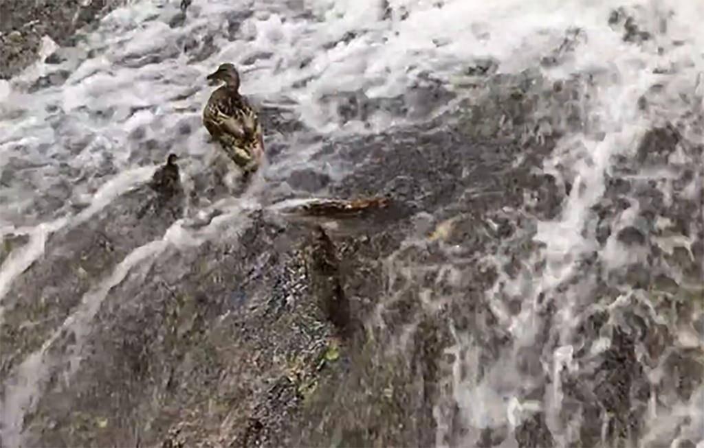 In der Steinach bei der Talstation der Mühleggbahn ist eine Entenfamilie in Not geraten. (© zVg)