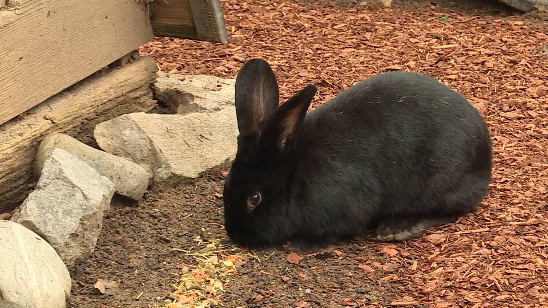 Kaninchen, schwarz