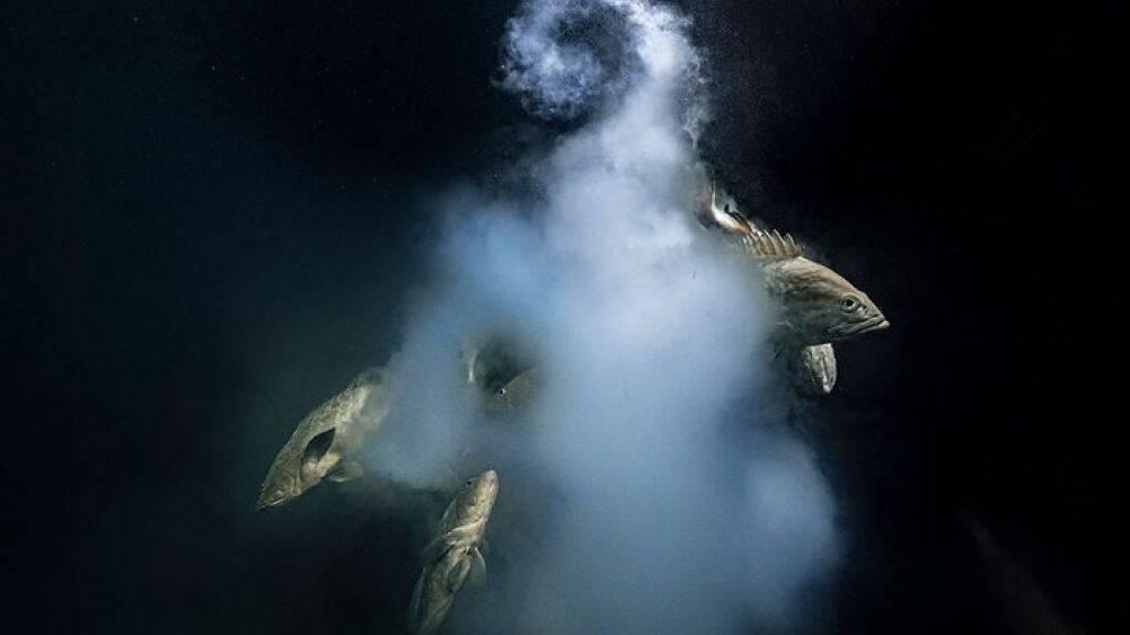 Mit diesem Foto eines laichenden Zackenbarsches ist der Franzose Laurent Ballesta Wildlife Photographer des Jahres 2021 geworden. Er nennt das Bild «Creation» (Pressebild).