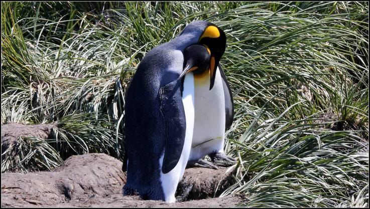 Pinguine kuscheln gegen die Kälte.