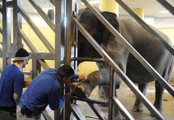 Die Tierpfleger werden sich künftig nicht mehr im gleichen Raum wie die Tiere aufhalten, sondern jeweils durch eine Barriere von ihnen getrennt sein.