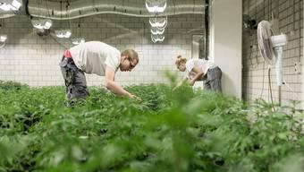 Grow Factory in Dietikon