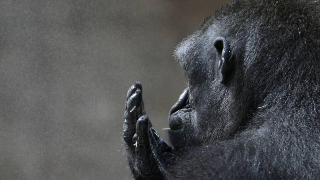 Kehlkopf-Entwicklung bei Affen schneller als bei Fleischfressern