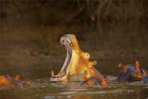 Nilpferde fühlen sich im Sambesi wohl.