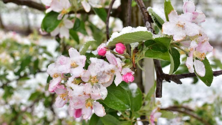 Apfelblüten offen und geschlossen mit Schnee