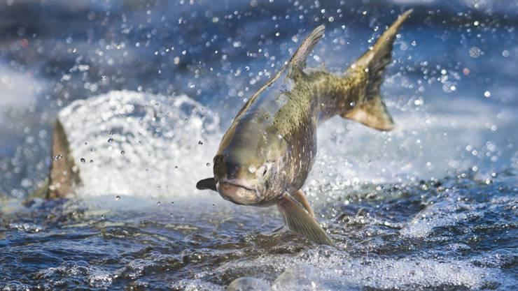 Wildlachs in Kalifornien: Umweltschützer befürchten, dass frei lebende Fische gefährdet werden, wenn genetisch modifizierte Lachse in die freie Wildbahn gelangen (Archiv).