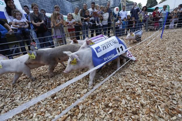 Der letztjährige «Primör» im Rennen.