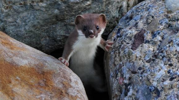Das Hermelin braucht zum Überleben viele Möglichkeiten, sich zu verstecken.