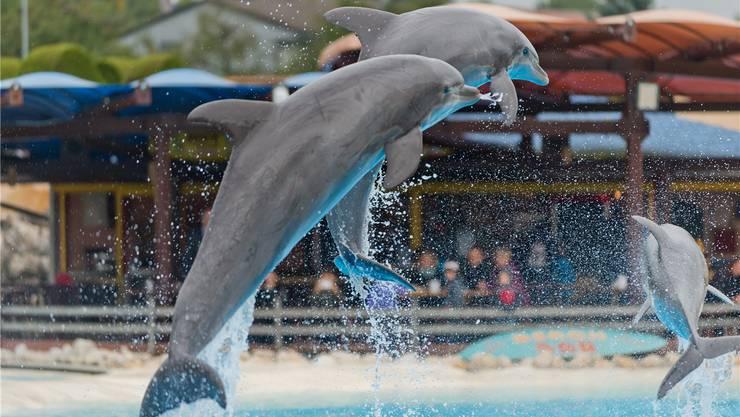 Wo sie nach dem 20. Oktober ihre Sprünge vollführen werden? Das Delfin-Trio in luftigen Höhen.
