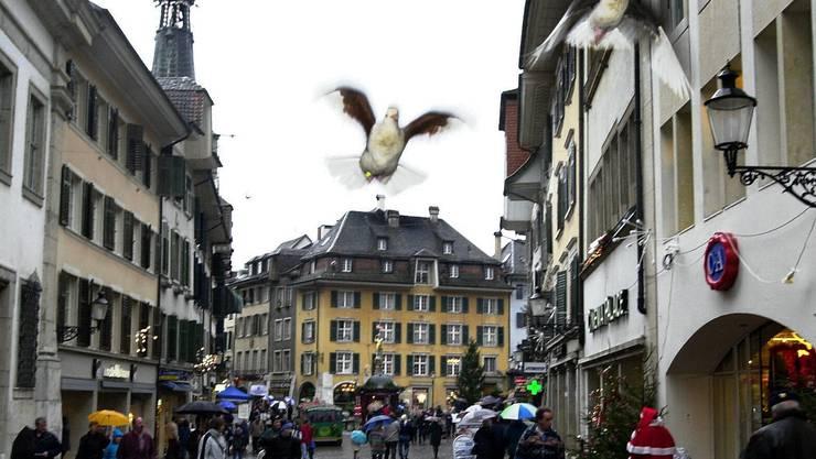 Eine aufgeschreckte Taube in der Altstadt Solothurns.