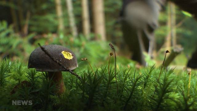 Pilzsammler: Achtung vor Giftpilzen!