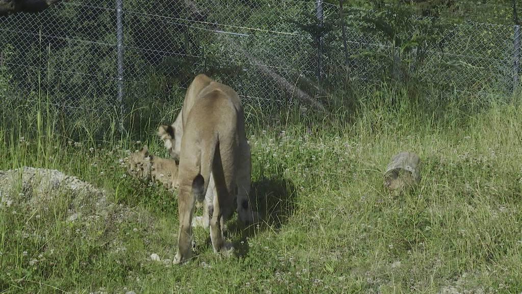 Jöö-Effekt: Löwenbabys erkunden den Walter Zoo
