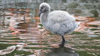 Flamingo-Nachwuchs Zoo Zürich