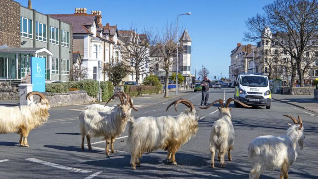 Kaschmir-Ziegen erobern Küstenort in Wales