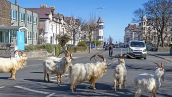 Eine Herde wilder Kaschmir-Ziegen streift neuerdings durch die menschenleeren Strassen des britischen Seebads Llandudno.